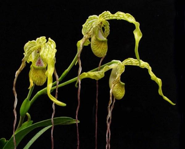 Phragmipedium-caudatum.jpg