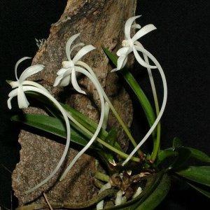 Neofinetia-falcata-bark.jpg