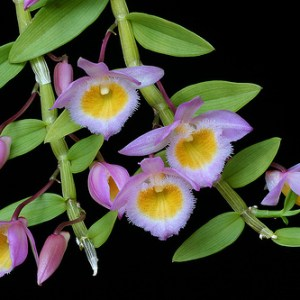 Dendrobium-loddigesii.jpg