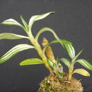 Dendrobium-nobile--variegatum