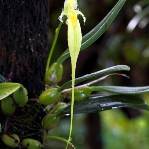 Bulbophyllum fascinator, alba
