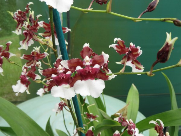 Oncidium Heaven Scent