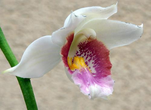 Phaius schlechteri x pulchra var. alba