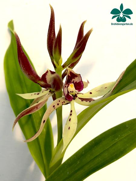 Prosthechea (Encyclia) prismatocarpa x vitellina