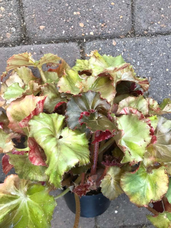 Begonia Jungle Brown
