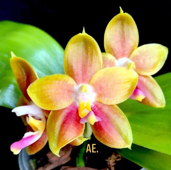 Phalaenopsis Yin's Green Jewel x Princess Kaiulani