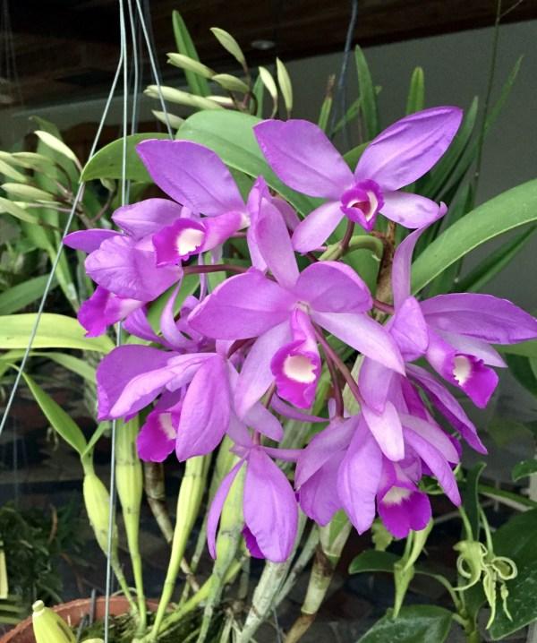 Cattleya (Guarianthe) skinneri