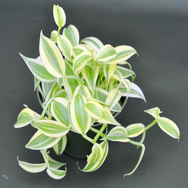 Vanilla planifolia, variegata
