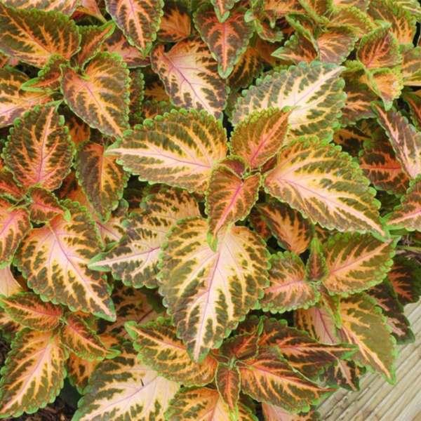 Palettblad Wizard Coral Sunset