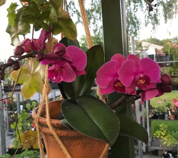 Phalaenopsis Geisha 'Dark Pink'
