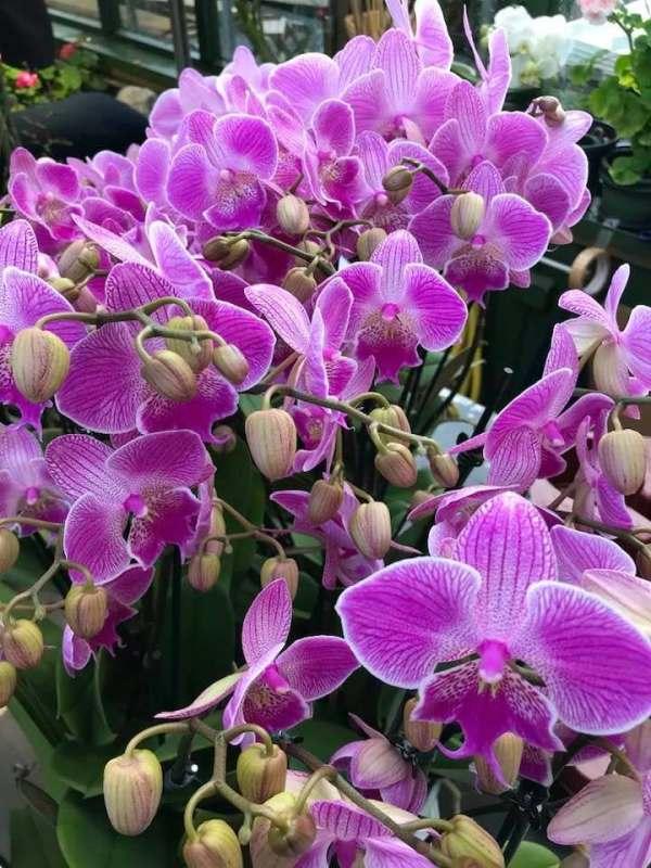 Phalaenopsis Big Lip
