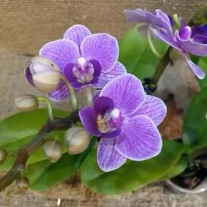 Phalaenopsis Violet Queen