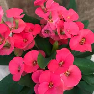 Euphorbia milii 'Eos'