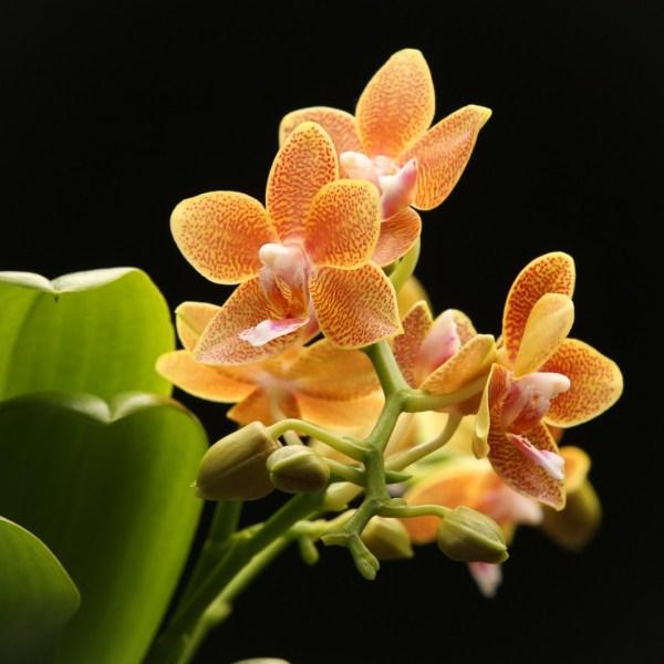 Phalaenopsis Table Masterpiece