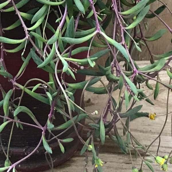 Senecio herrianus 'Purple Flush'