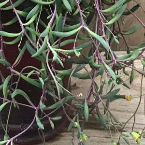 Senecio herrianus 'Purple Flush'