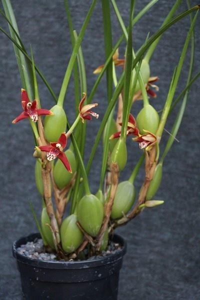 Maxillaria tenuifolia  Orchids orchid care substrates Orchidarium