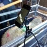 Sheep EID - Benefits and Options