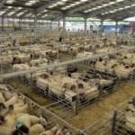 UK Sheep EID Update