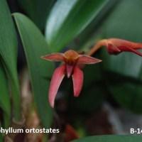 Bulbophyllum orthostates