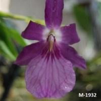 Miltonia spectabilis var. moorleana