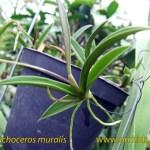 tricoceros_muralis_pianta
