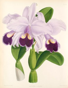 Cattleya labiata-The Orchid Album