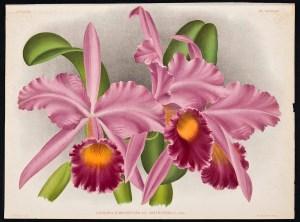 Cattleya labiata - Lindenia