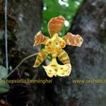 psychopsiella_-limminghei_f