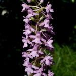 Gymnadenia conopsea