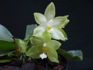 Phalaenopsis bellina f. alba