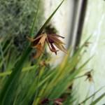 jaquiniella_equitantifolia_
