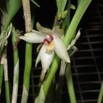 octomeira_grandiflora_f