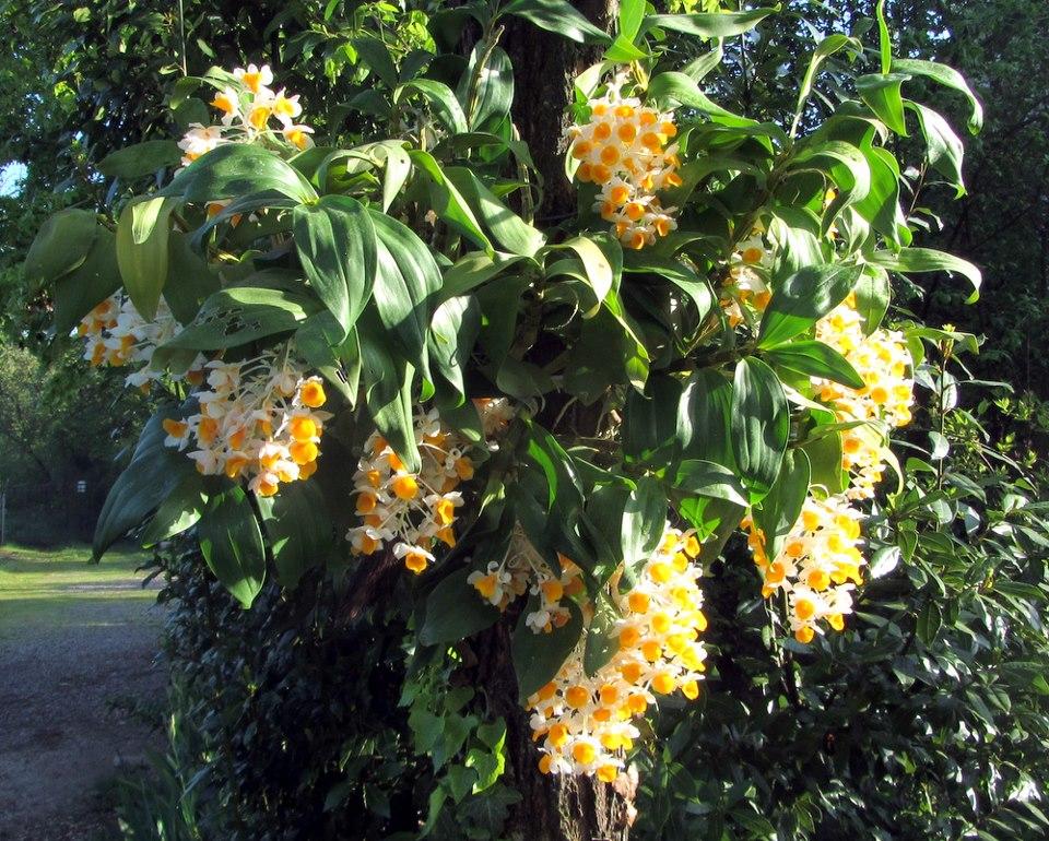 Orchidee: Dendrobium, Vanda e Jumellea