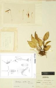 restrepia_ metae_herbarium