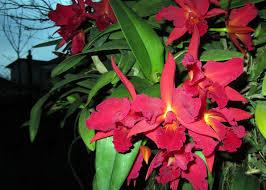 pordenoneorchidea_catt-rossa 1jpg