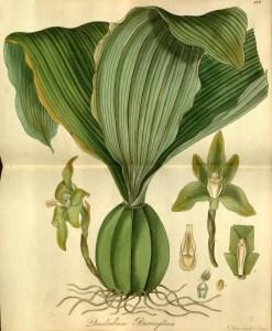 Fig.03 Dendrobium barringtoniae, Exotic Flora Vol.2, t.119