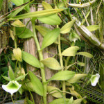 angraecum-eiclerianum