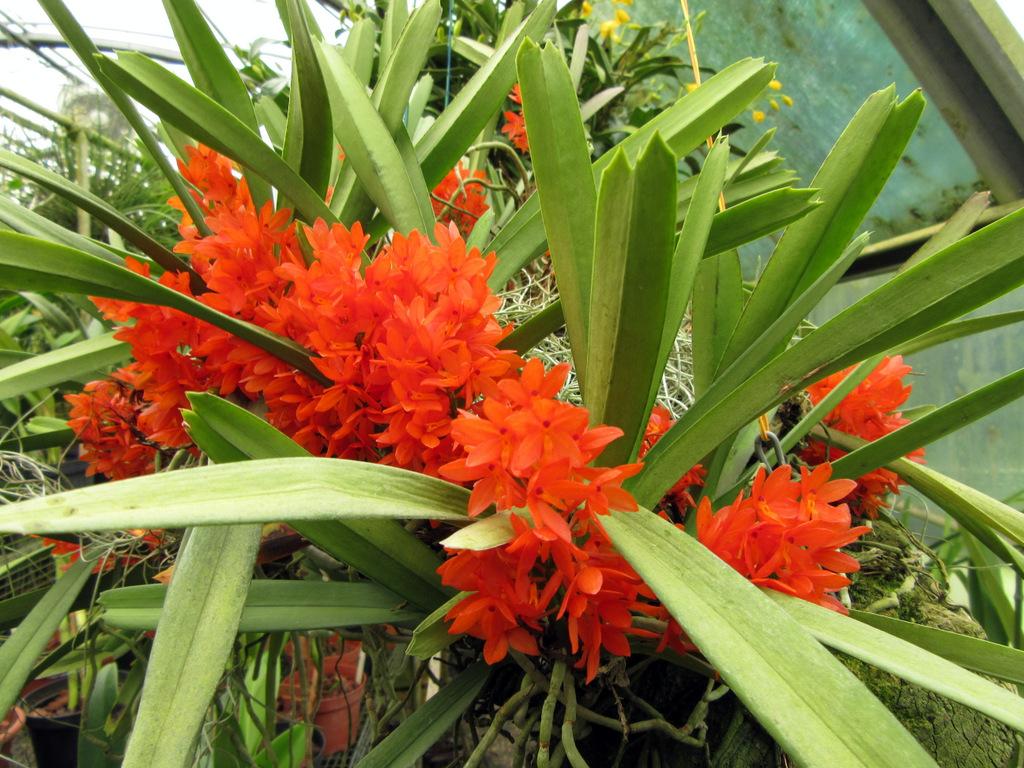 Ascocentrum garayi, storia ed incertezze botaniche