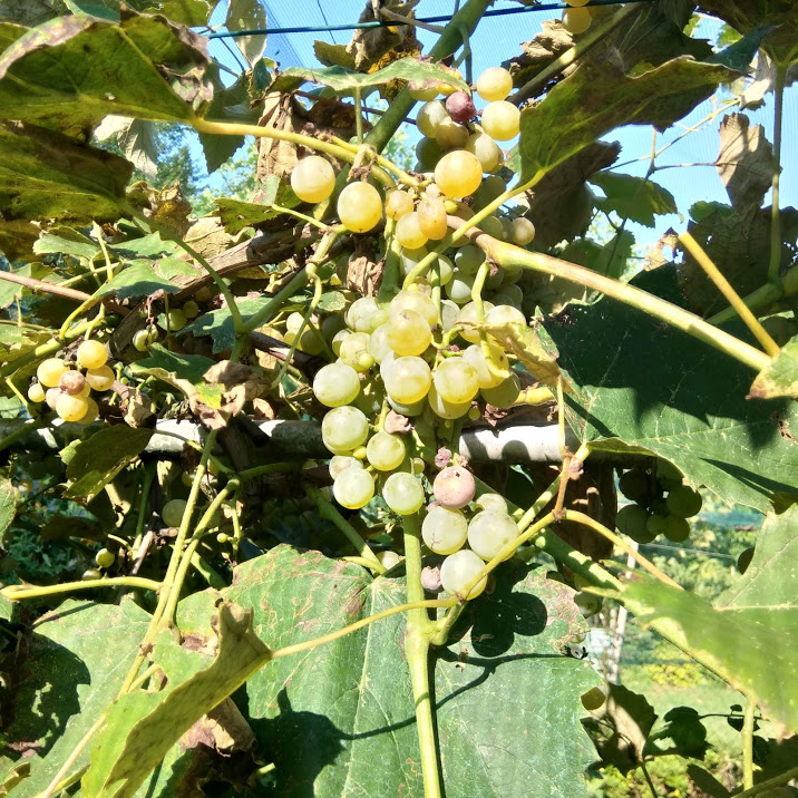 L'uva di Sant'Anna, storie d'altri tempi.