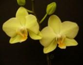 Phalaenopsis Yellow Butterfly 'Amber'