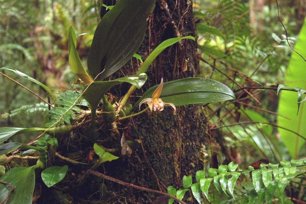 Resultado de imagem para bulbophyllum lobbii