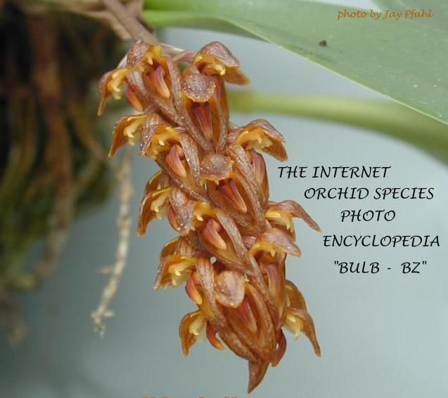 Jay's Internet Orchid Species Photo Encyclopedia Bulb Bz