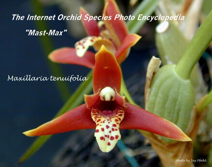 Jay's Internet Orchid Species Photo Encyclopedia M Max