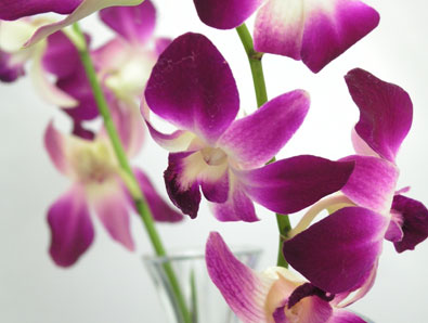 A beautifull close up of a purple and white Dendrobium Orchid