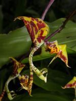 Gongora orchid
