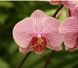 Facts and History of Orchids