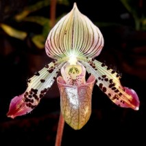 Paphiopedium Orchid