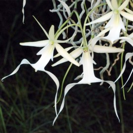 Facts About The Ghost Orchid