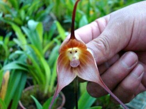 Mokey Orchid